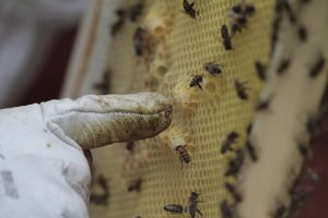 De bijen maken redcellen bij het verdwijnen cq. sterven van de koningin