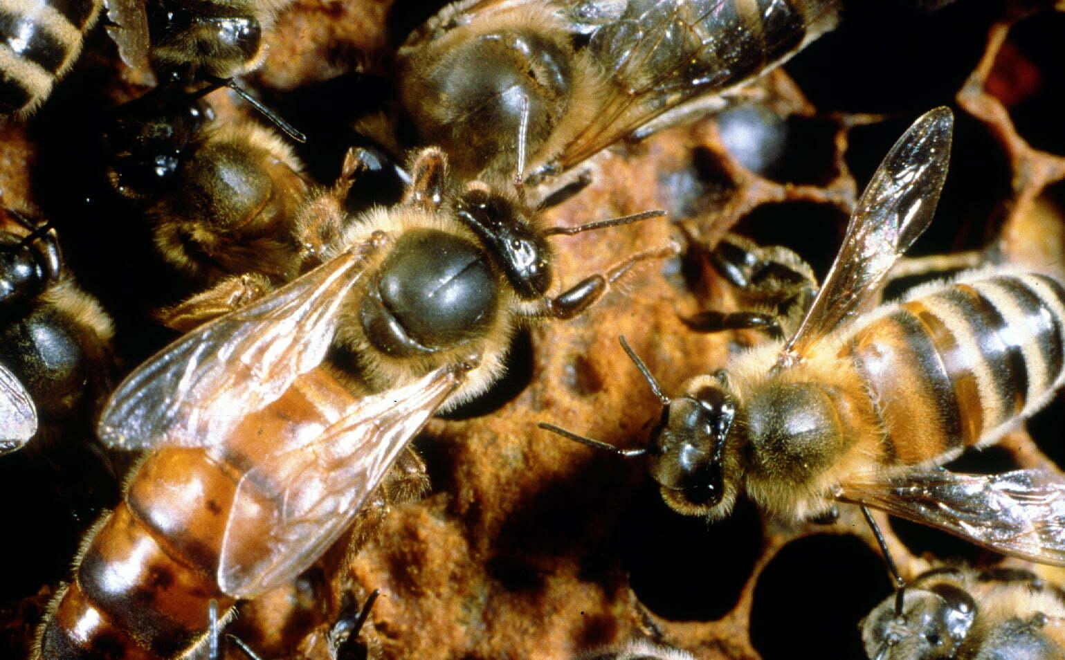 bijen moer