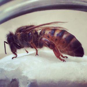 De Bijen Koningin Imkerij De Drakenbijen
